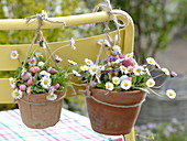 Bellis perennis hung in clay pots on chair back