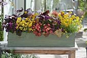 Box with Primula Belarina 'Nectarine', Heuchera