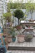 Container plants with sack truck from the winter quarters on the terrace