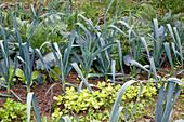 Leek, Allium porrum and Portulaca (Portulaca oleracea)