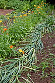 Garlic laid flat before harvest, with calendula in row behind