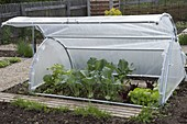 Brühwiler garden hood as a cold frame, planted with turnip cabbage