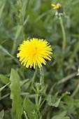 Taraxacum (dandelion) in the meadow