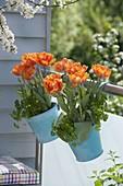 Hanging pots on the balcony railing with Tulipa 'Orange Princess'
