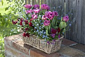 Basket with Tulipa 'Lilac Star', viola cornuta
