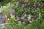 Flowering woodruff in the bed and basket