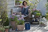 Blue-pink spring terrace tulip 'Evening Breeze' 'Lilac Star'
