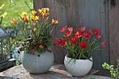 Tulipa clusiana var. Chrysantha (Lady's Tulip) and linifolia