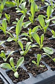 Calendula officinalis (Marigold) seedlings