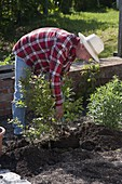 Man plants blueberry with peat in flower bed