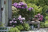 Rhododendron 'Catawbiense Boursault', yakushimanum 'Silver Cloud'