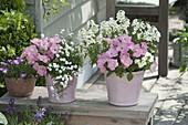 Petunia Bingo Pink Morn, Achillea ptarmica Gypsy White