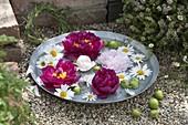 Blüten von Paeonia (Pfingstrosen) und Leucanthemum (Margeriten)
