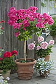 Pelargonium zonal Top 'Puccini' (geranium) high stem