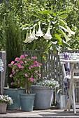 Balcony with Datura (angel trumpet) planted with Lobelia