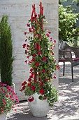 Concrete red rods as a climbing aid for climbing plants