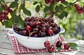 Freshly picked cherries (Prunus avium) in enamel bowl