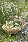 Freshly picked chamomile (Matricaria chamomilla) in chip basket