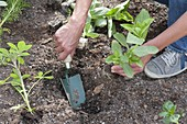 Planting summer bed with annual summer flowers