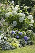 Shadow flower bed with hydrangeas and perennials, Hydrangea arborescens