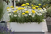 Perennial box with Leucanthemum superbum (marguerite) and Achillea