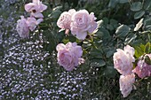 Pink 'Clair' (Renaissance rose), often flowering, strong scent