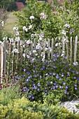 Picket fence with Lavatera thuringiaca 'Barnsley'