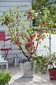 Red currant 'Rolan' (Ribes rubrum) with brachyscome