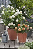 Pink Renaissance 'Nina' white (shrub rose), strong scent