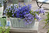 Blue planted box with Campanula garganica, portenschlagiana