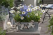 Viscaria oculata 'Blue' (Himmelsröschen) , Leucanthemum superbum