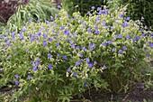 Geranium pratense 'Johnson's Blue' (cranesbill)