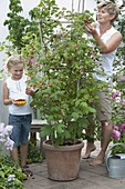Girl with mother harvesting raspberries (Rubus) from bucket