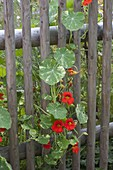 Tropaeolum Alaska 'Tip Top Red' (nasturtium) on the fence