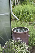 Collect rainwater from the greenhouse downpipe in brown earthenware barrel