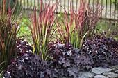Imperata cylindrica 'Red Baron' and Heuchera