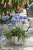 Agapanthus africanus in a white tub