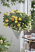 Hanging Basket with rose 'Yellow Pagoda' and Calibrachoa