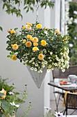 Hanging Basket with rose 'Yellow Pagoda' and Calibrachoa