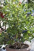 Blueberry 'Berkeley' in terracotta pots