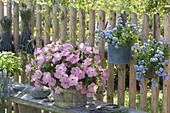 Petunia Bingo 'Pink Morn' in wooden bucket, Campanula carpatica