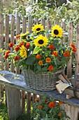 Basket with helianthus (sunflower) and zinnia (zinnia)