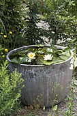 Water lily in gray cement pot