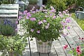 Pelargonium 'Pink Capitatum' (scented geranium) in the basket