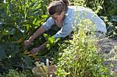 Woman picking zucchini 'Goldrush'