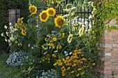 Helianthus annuus 'Sunrich Gold', 'Garden Statement'