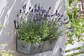 Metal box with lavender 'Hidcote Blue', sage