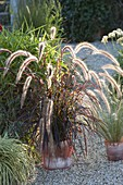 Pennisetum rubrum and Stipa (hairgrass)