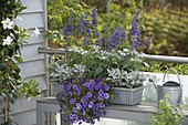 Late summer box planted in violet and silver gray
