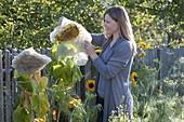 Woman covers flower head of Helianthus (sunflower) with fleece